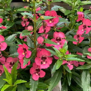 Angelonia 'Perfectly Pink' 4""