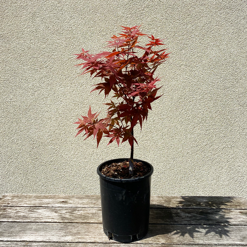 Acer palm 'Rhode Island Red'