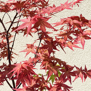 Acer palm 'Shindeshojo'