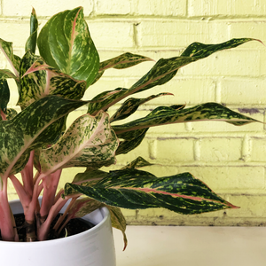 Aglaonema 'Two Tone Moonstone' 6""