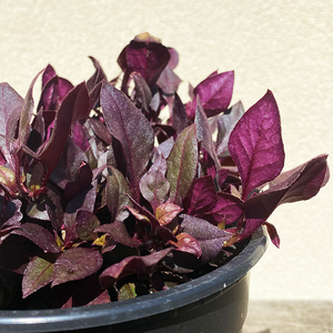 Alternanthera 'Choco Chili' 6""
