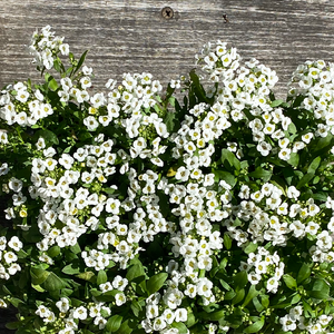 Alyssum Clear Crystal White 6 Pack