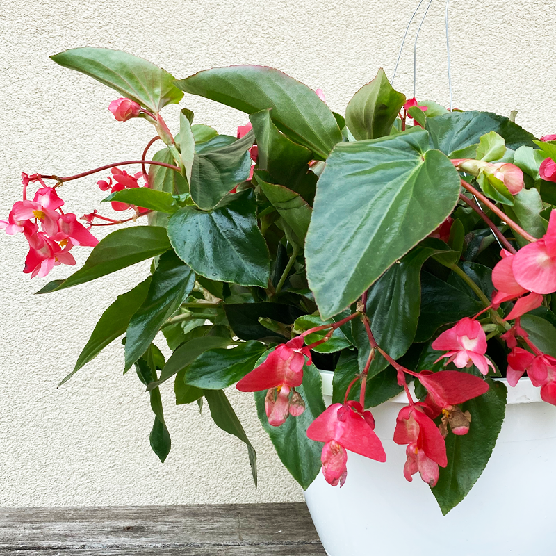 "Begonia Dragon Wing Pink 10"" Hanging Basket"