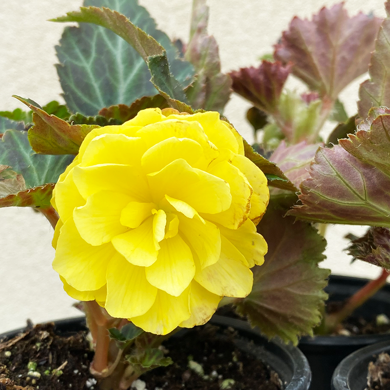 Begonia Yellow 4""