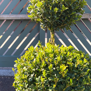 Buxus 'Green Mountain' 3-Ball Topiary