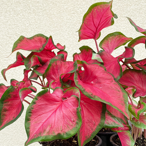 Caladium 'Cherry Tart' 4""