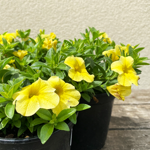 Calibrachoa 'Lemon' 4""