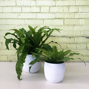 Bird's Nest Fern 'Victoria'