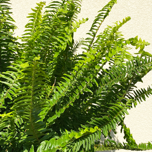 Kimberly Queen Fern 10""