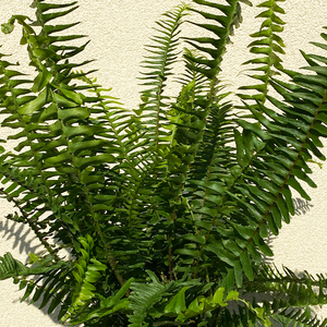 Kimberly Queen Fern 6""