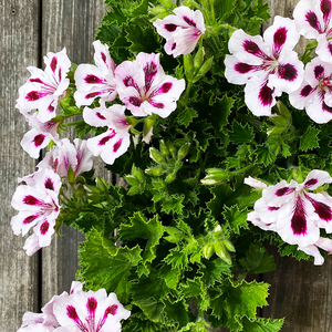 Geranium 'Aristo Purple Stripes' 4""