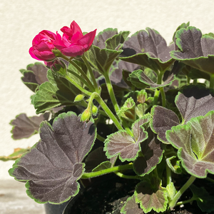 Geranium 'Brocade Cherry Night' 4""