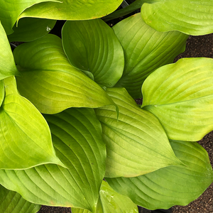 Hosta 'Sum & Substance' G01