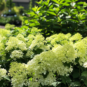 Hydrangea pan 'Little Lime'