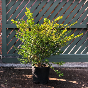 Ilex cren 'Drops of Gold'