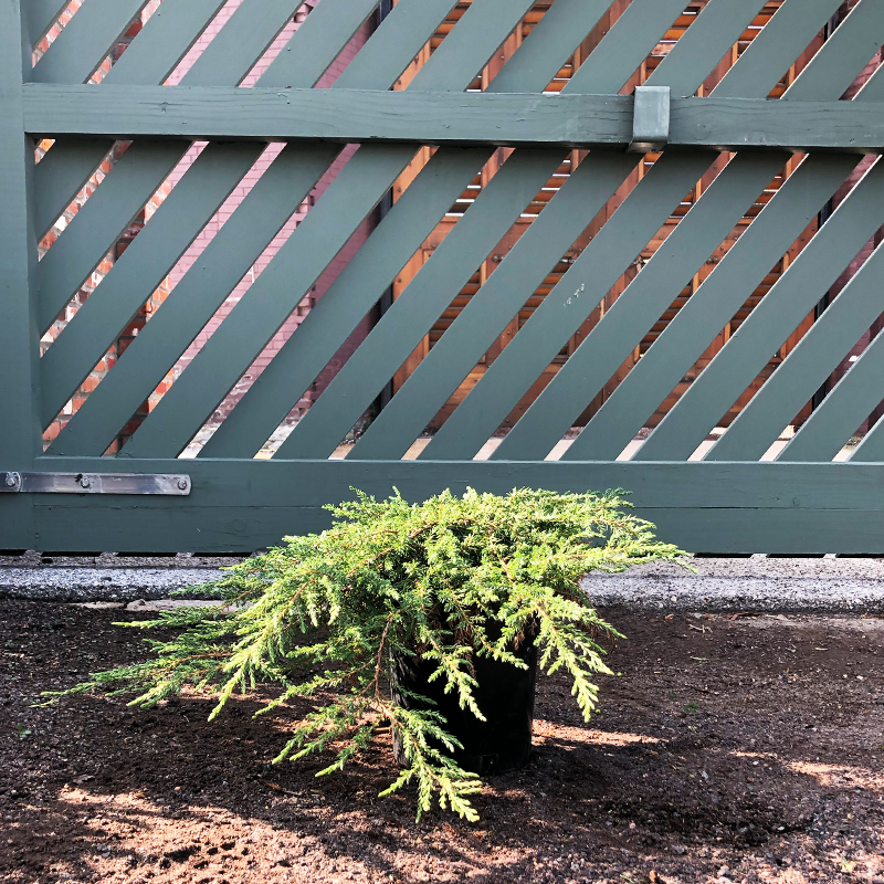 Juniperus com 'Green Carpet'