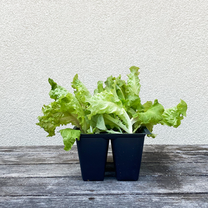 Lettuce 'Revolution' 6 Pack