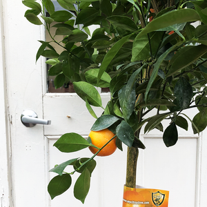 "Calamondin Orange 17"" Standard"