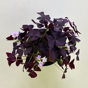 Oxalis Red