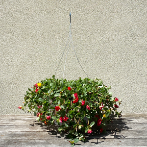 "Portulaca Mixed Colors 10"" Hanging Basket"