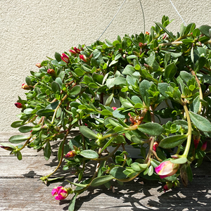 "Portulaca Watermelon 10"" Hanging Basket"