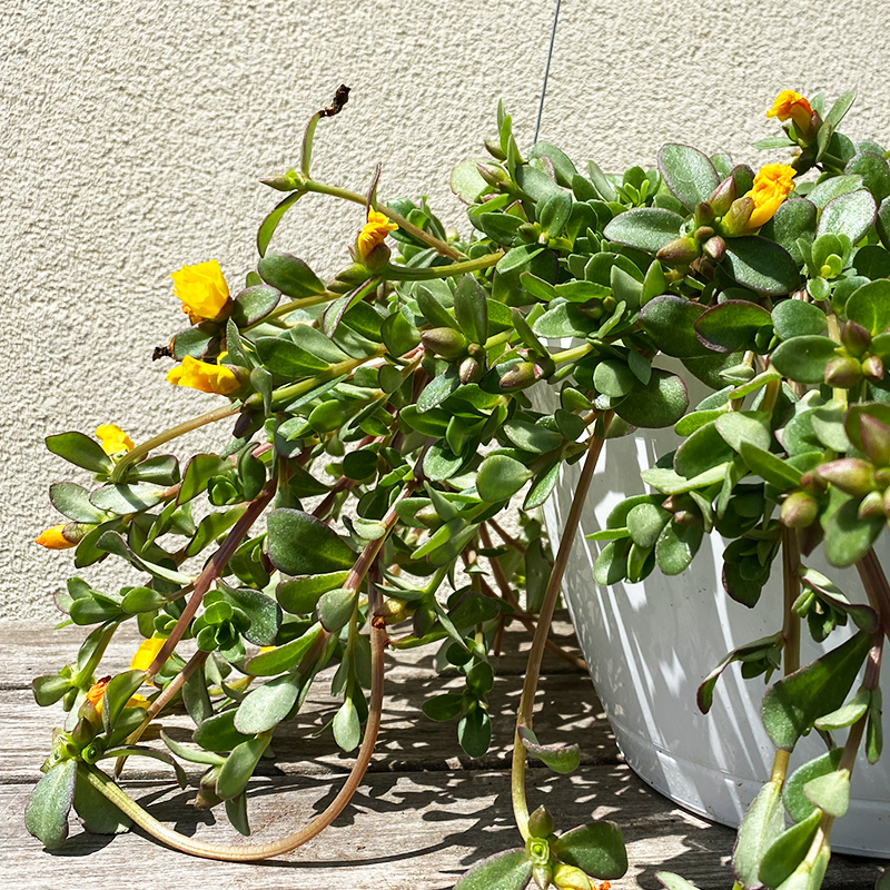 "Portulaca Yellow 10"" Hanging Basket"
