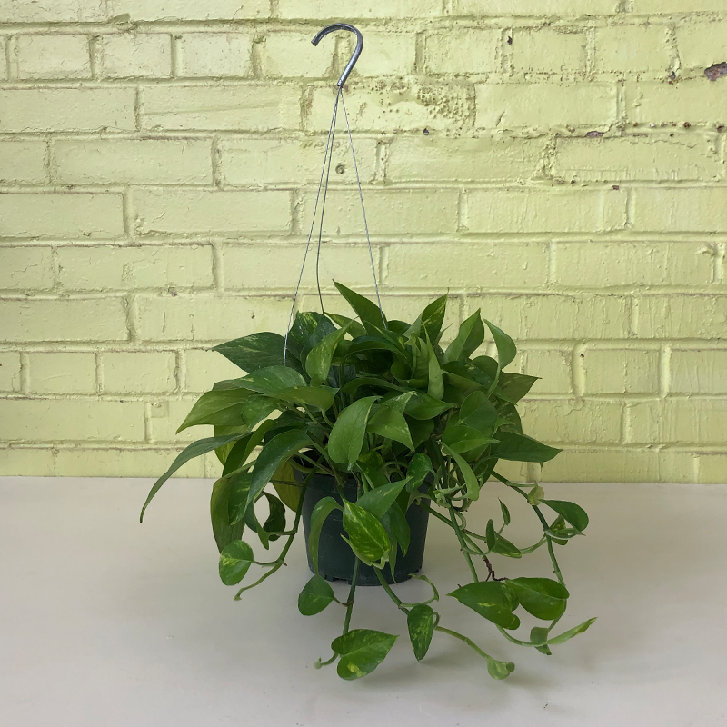 "Pothos 'Golden' 6"" Hanging Basket"
