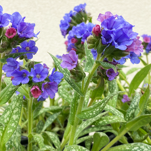 Pulmonaria 'Trevi Fountain' G01