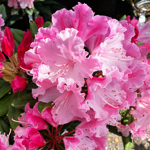 Rhododendron 'Dandy Man Color Wheel'