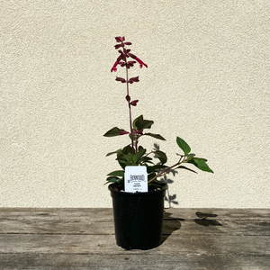 Salvia 'Dark Purple' 4""