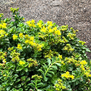 Sedum 'Little Miss Sunshine' G01