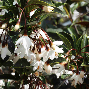 Styrax jap 'Evening Light'