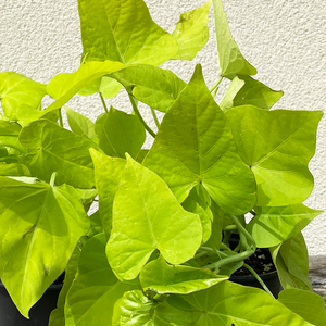 Sweet Potato Vine 'Marguerite' 4""