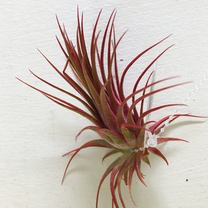 T. Ionantha Red Enhanced