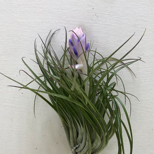 T. Stricta Green Large