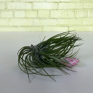 T. Stricta Lite Green Large
