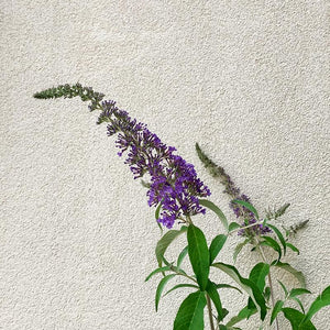 Buddleja 'Blue Knight' #2