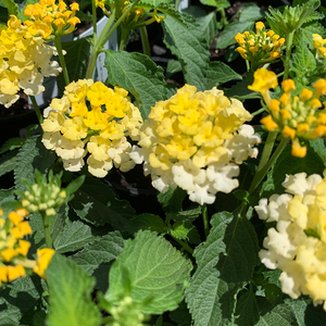 Lantana 'Trailing Lemon Zest' 4""