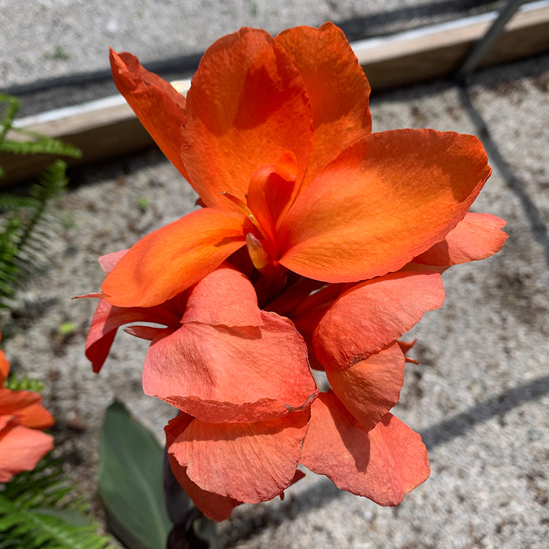 Canna Bronze Orange 6""