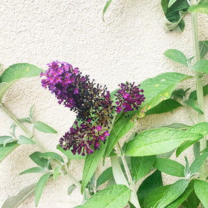 Buddleja 'Dark Dynasty' G01