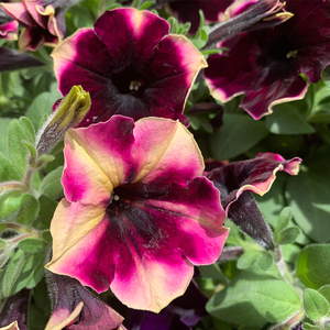 Petunia 'Blackberry Cheesecake' 6""