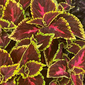 Coleus 'Alligator Alley' 4""