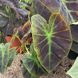 Colocasia 'Black Beauty' 10""