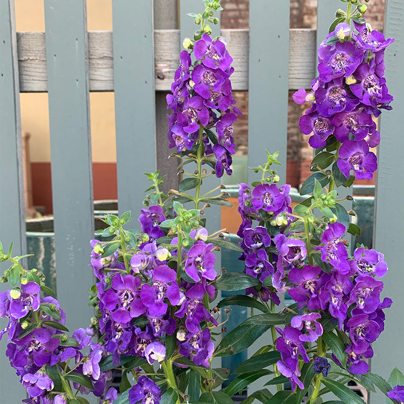 Angelonia 'Blue Improved' 6""