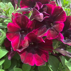Petunia 'Johnny Flame' 4""