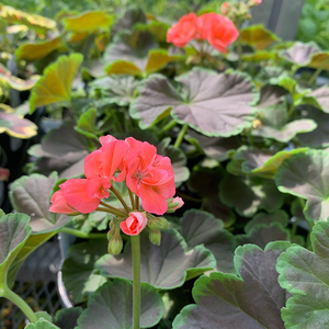 Geranium 'Brocade Salmon Night' 4""