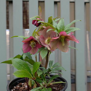 Helleborus 'Rome in Red' G01