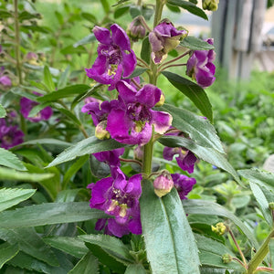 Angelonia 'Blue Improved' 4""