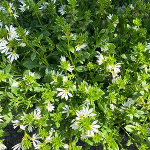 Scaevola 'White Improved' 4""
