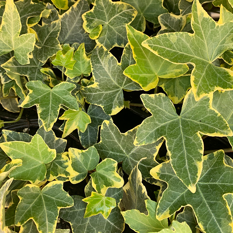 Hedera 'Yellow Ripple' 4""